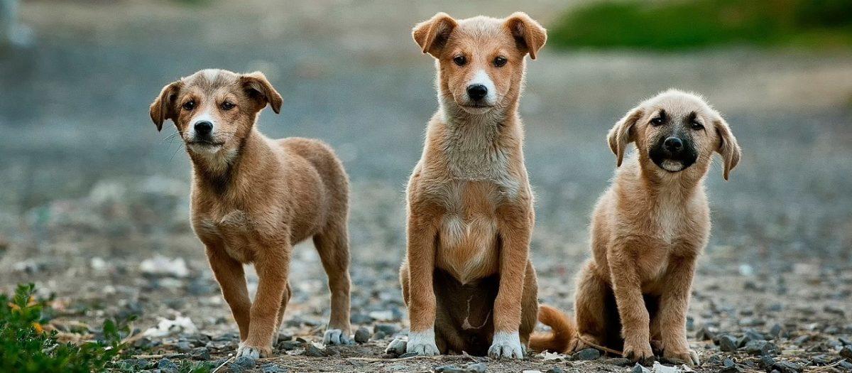 Junghunde